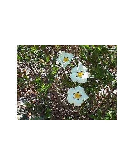 Agua floral de Jara BIO- Terpenic